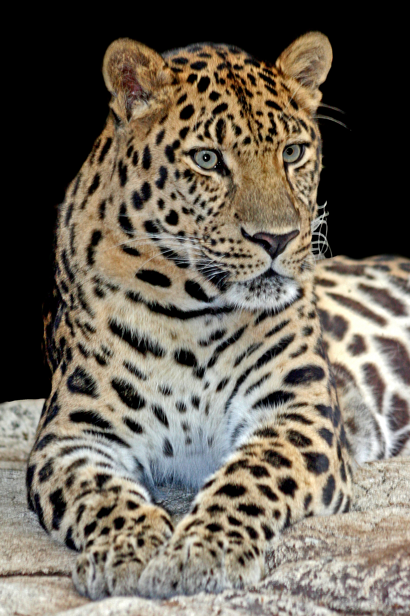 Amur Leopard Vodka