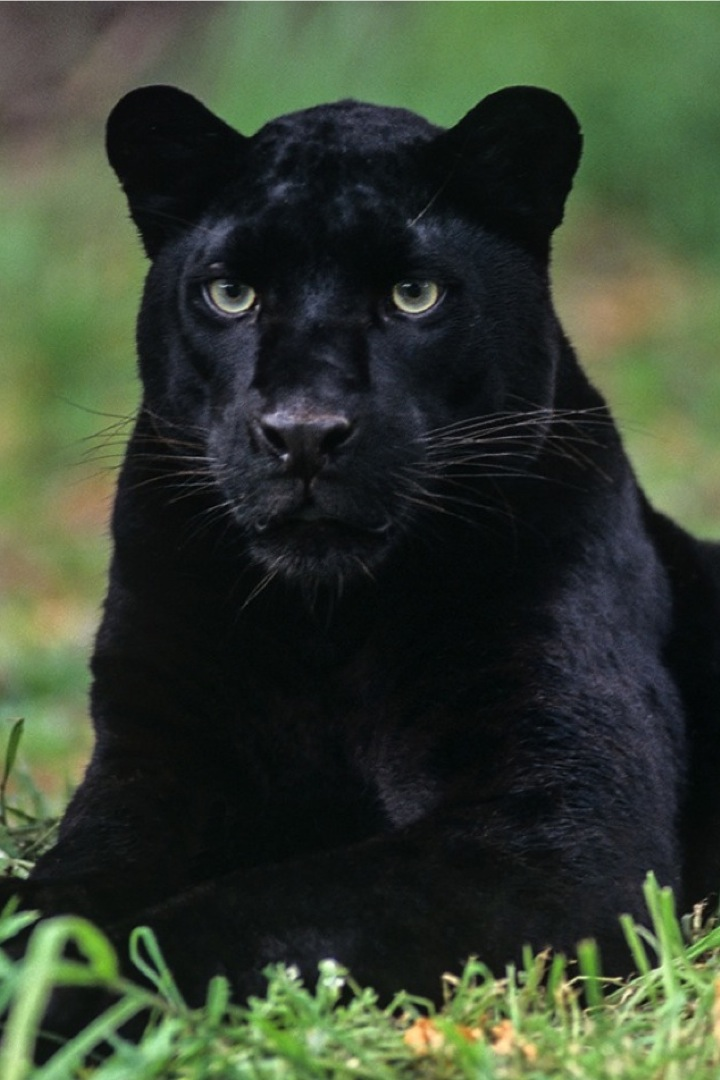 Black Leopard Vodka